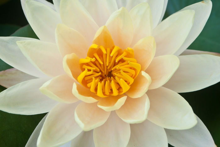 Closeup of yellow lotus flower beautiful lotus.